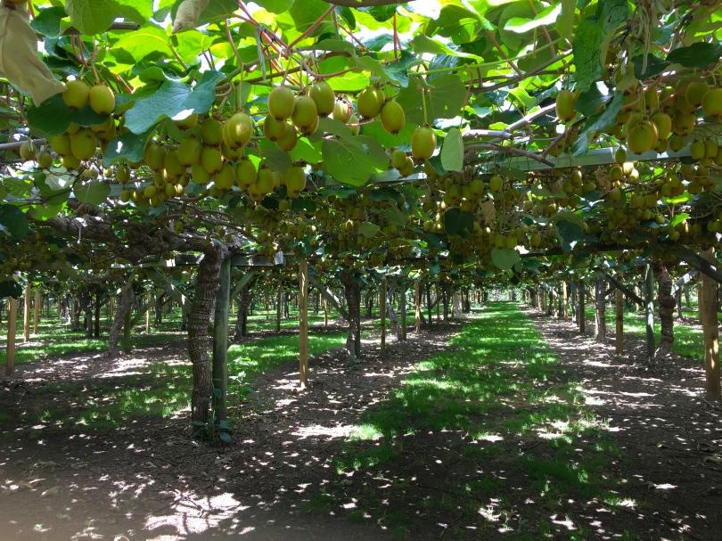 Under The Kiwi Vines