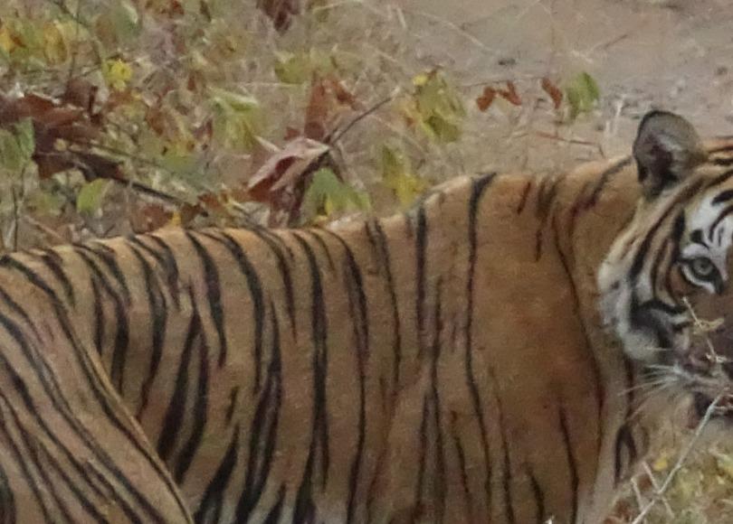 Layla Tiger Ranthambore National Park