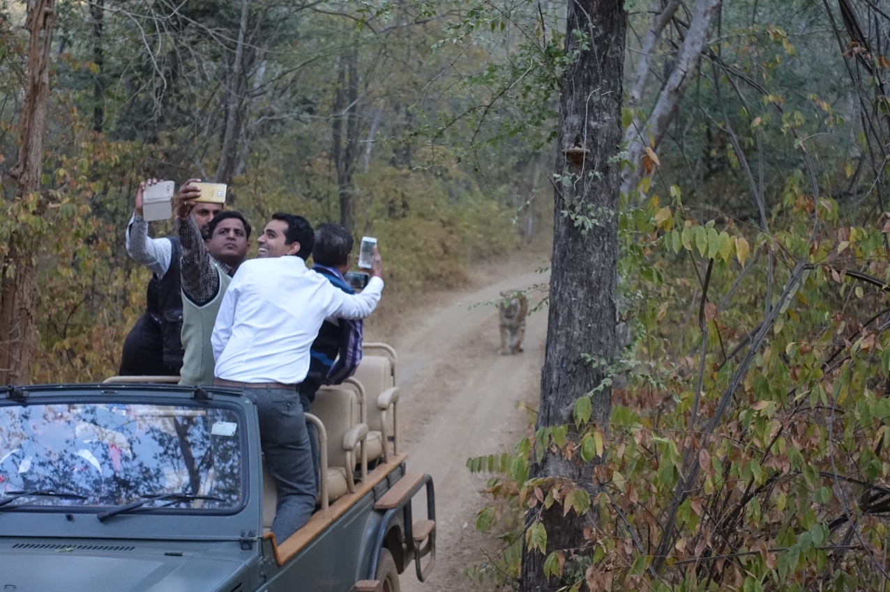 Guides with tiger Ranthambore National Park