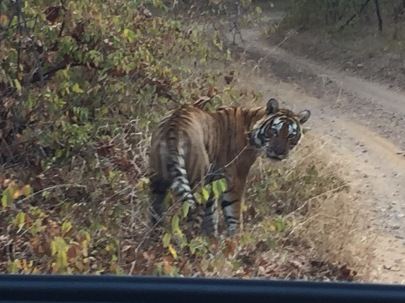 The Tiger in Ranthambore National Park