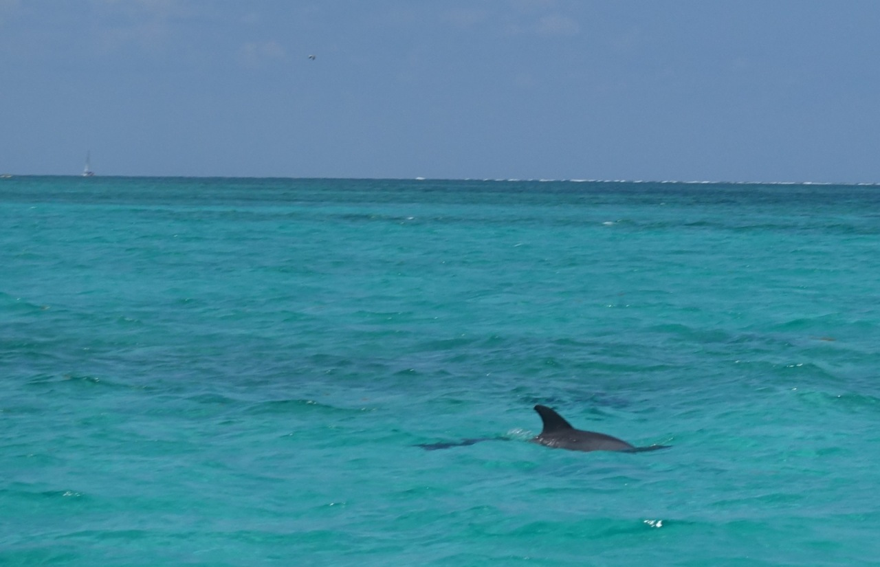 Belize Dolphin