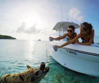 sea pigs in Bahamas